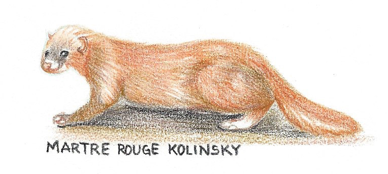Martre rouge Kolinsky